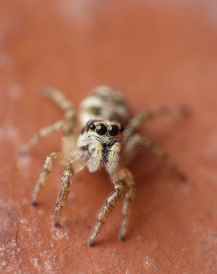 Makrophotographieabschluß oben einer springenden Spinne, Foto eingelassen Großbritannien lizenzfreies stockfoto