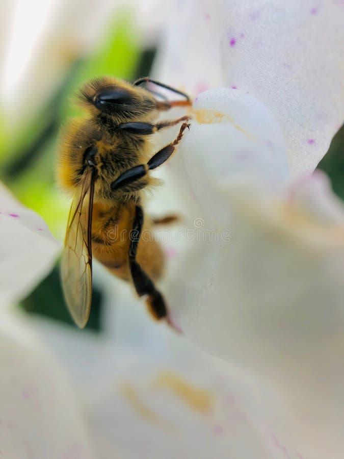 Makroschuß der Biene auf weißer Blume stockbilder