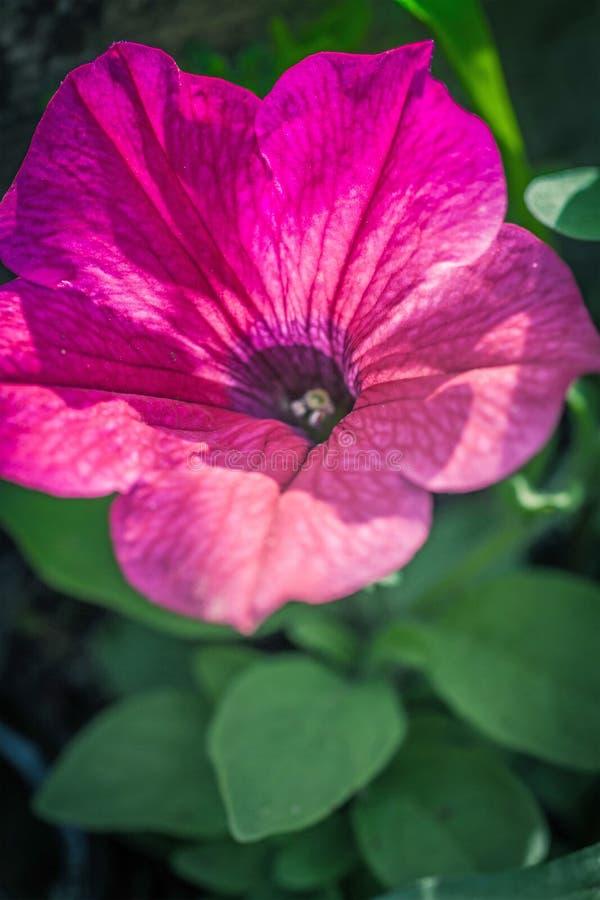 Makroschuß der rosa Petunienblume im Garten lizenzfreie stockfotos