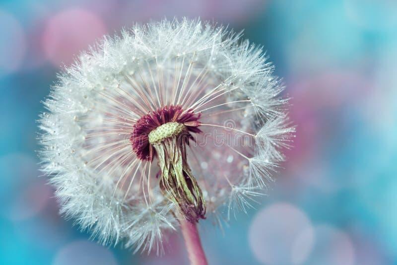 Makroschuß der schönen Löwenzahnblume mit Wassertropfen auf buntem Hintergrund des Türkises Fr?hlings- oder Sommernaturszene lizenzfreies stockfoto