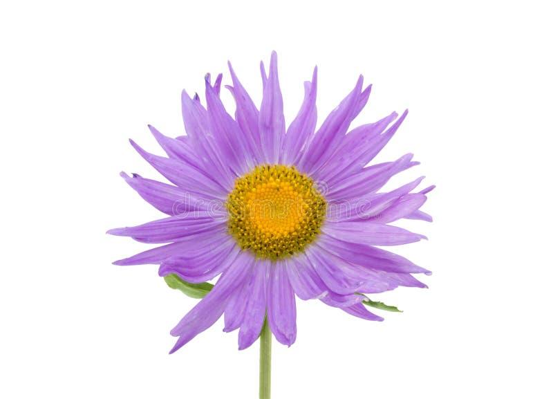Makroschuß der violetten Asterblume getrennt stockbild