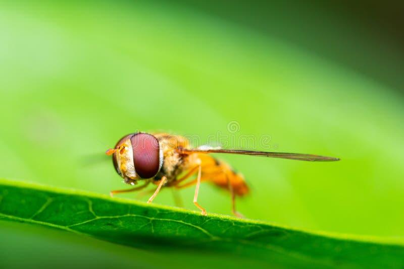 Makroschuß einer Marmelade hoverfly oder Episyrphus-balteatus stockfoto