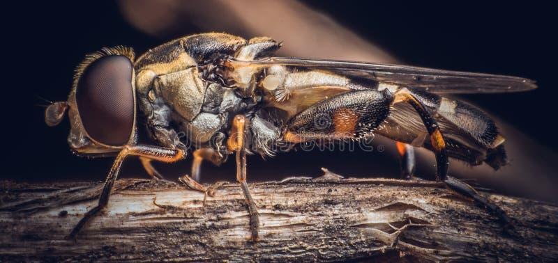 Makroschuß einer Räuberfliege auf den Niederlassungen von Bäumen stockbild