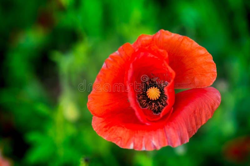 Makroschuß einer roten Mohnblumenblüte auf einem bunten, abstrakten und vibrierenden Blütengebiet, eine Wiese voll des blühenden  lizenzfreie stockfotografie