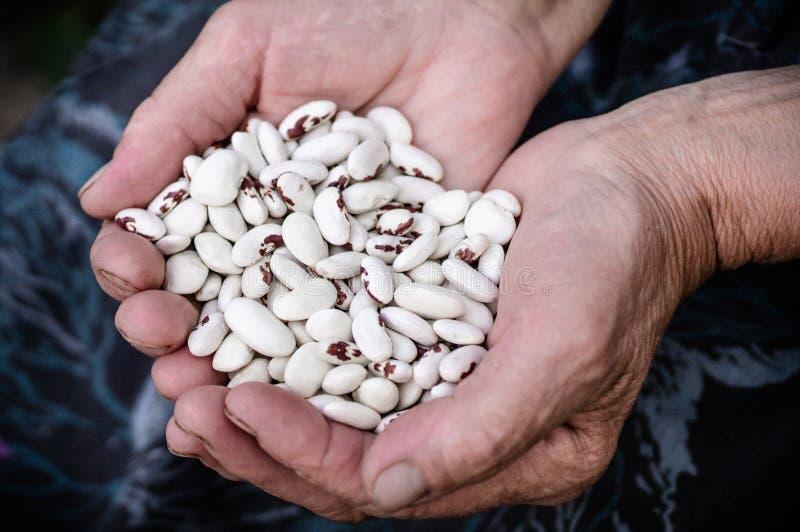 Makroschuß mit flacher Schärfentiefe von rohen weißen Niere benas Weiße Bohnen mit roten Stellen in den Händen der Großmutter, er lizenzfreie stockfotos