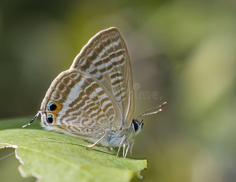 Makroschuß schönen Lampides-boeticus Pea Blue-Schmetterlinges lizenzfreie stockfotografie