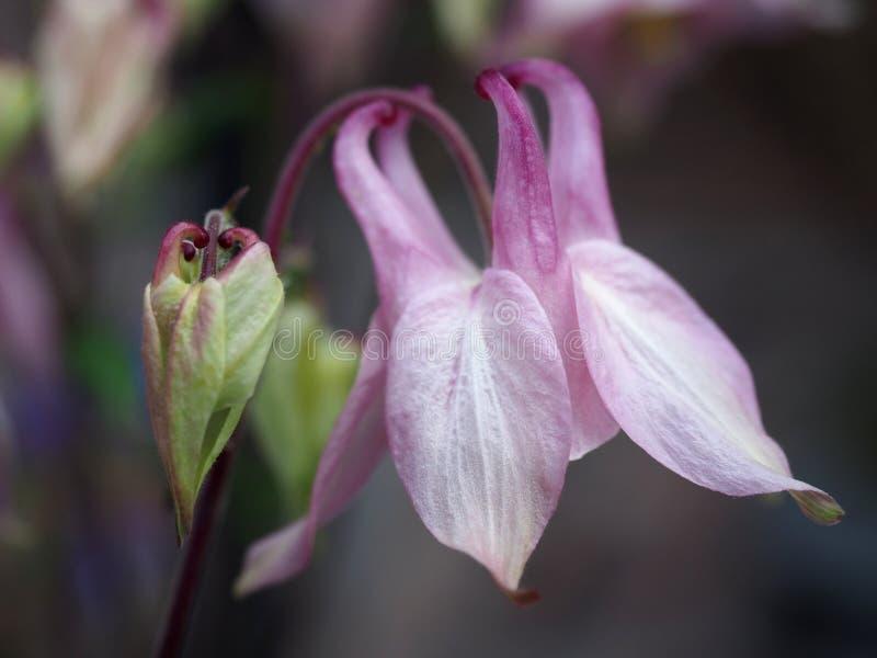 Makroschuß von blassem - rosa Aquilegia-Blume lizenzfreie stockbilder