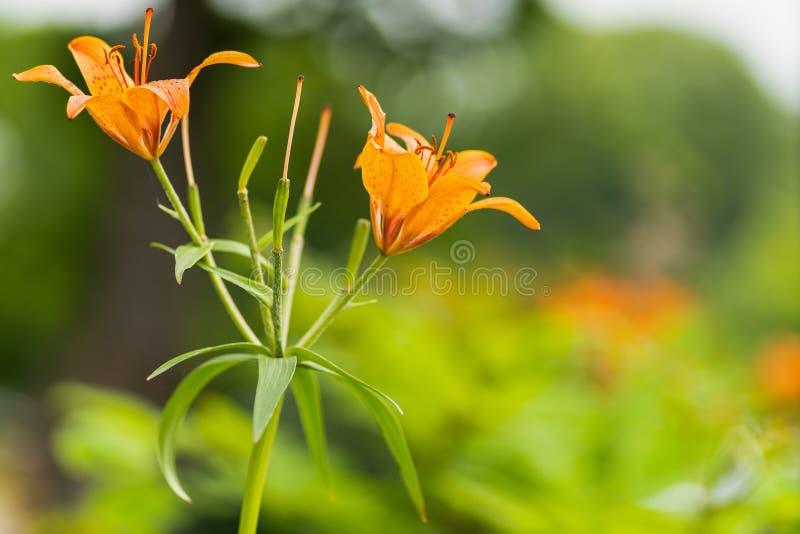 Makroschuß von orange Lilien in der Weichzeichnung stockbilder