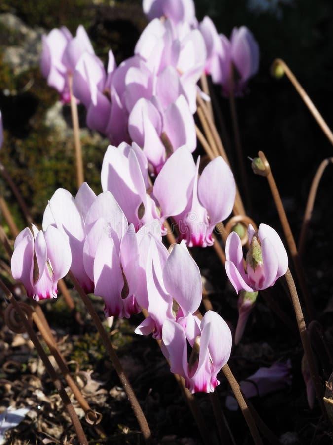 Makroschuß von rosa Alpenveilchenblumen stockfotografie