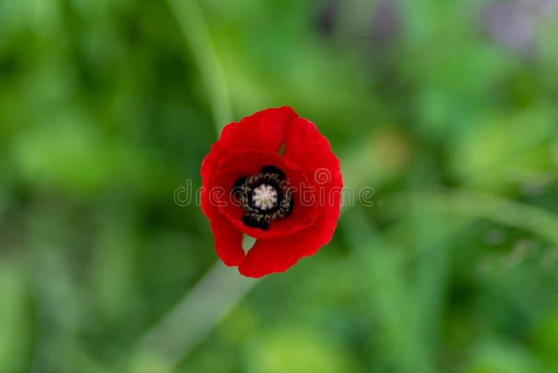 Makroschuß von roten Blumen vor dem hintergrund des Grases in der Weichzeichnung stockfotografie