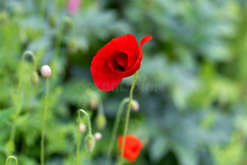 Makroschuß von roten Blumen vor dem hintergrund des Grases in der Weichzeichnung lizenzfreie stockfotos