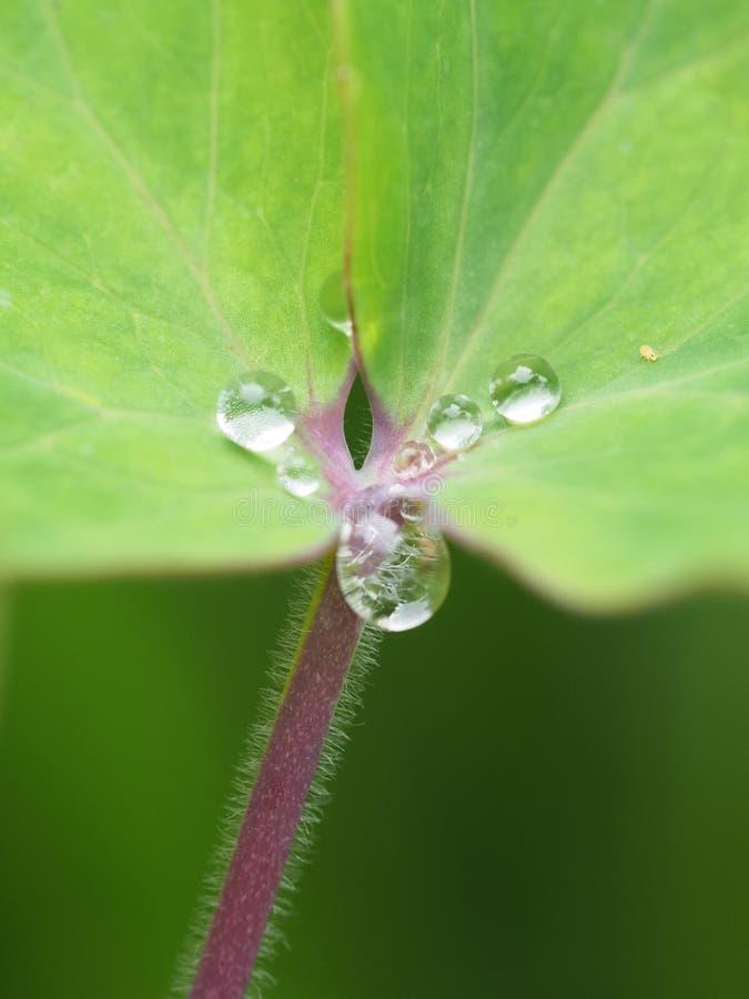Makroschuß von Wassertropfen auf grünem Blatt mit einem roten Stamm lizenzfreie stockfotografie