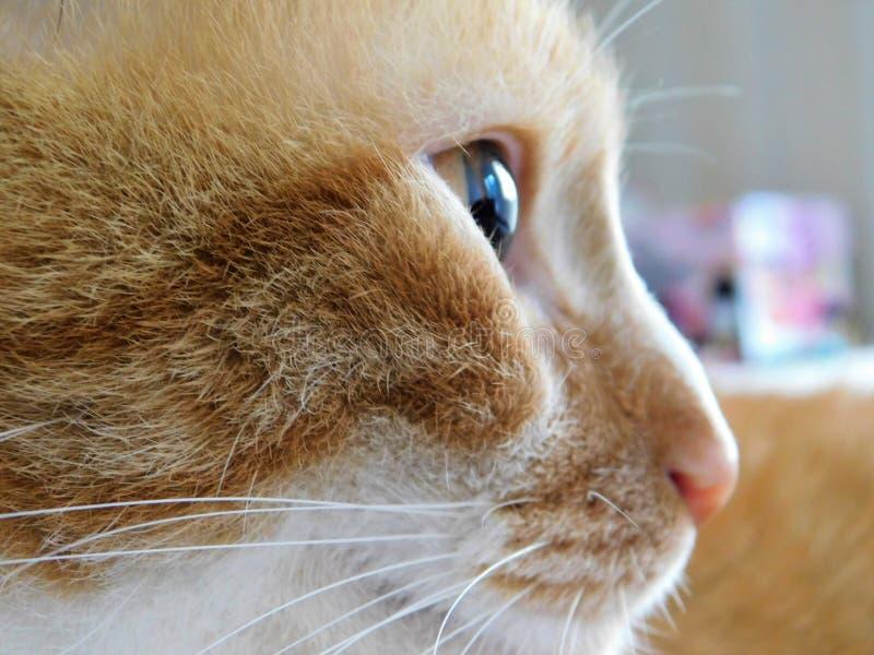 Makrosideview av en ljust rödbrun katt royaltyfria foton