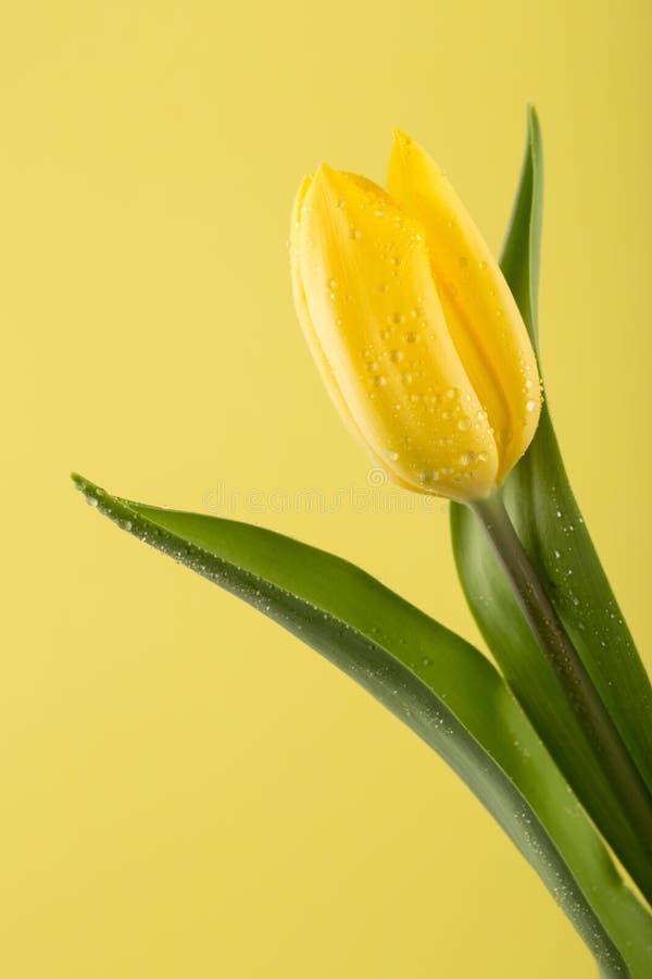 Makrosikt av en h?rlig tulpanblomma p? guling yellow f?r fj?der f?r ?ng f?r bakgrundsmaskrosor full arkivbild