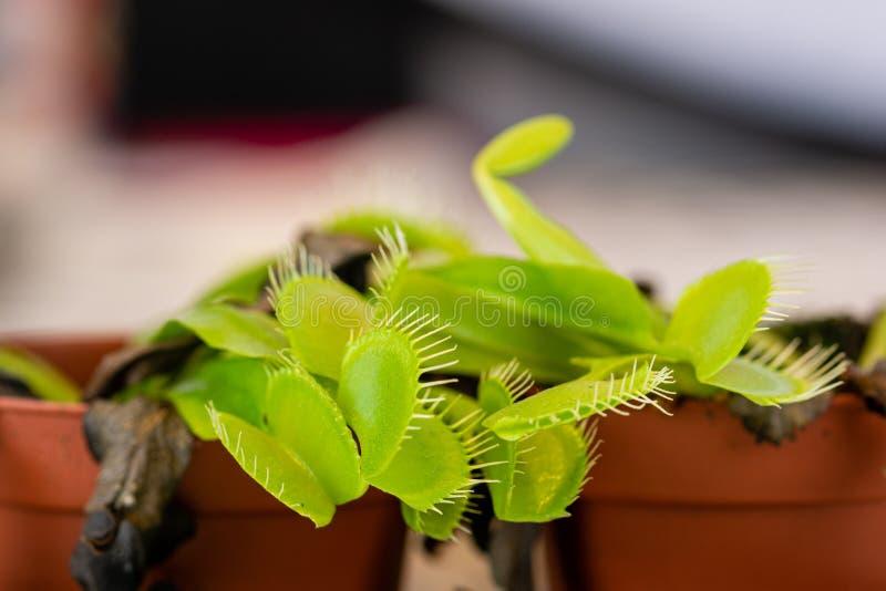 Makrosikt av munnarna av en muscipula för Dionaea för Venus flytrap arkivbild