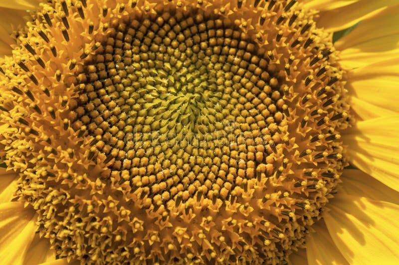 Makrosikt av solrosen i blom Mellersta del av solrosslut upp arkivbilder