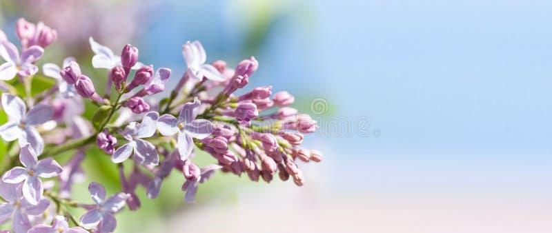 Makrosikt som blomstrar den lila busken för Syringa Vårlandskap med gruppen av violetta blommor lilor som blommar växter arkivfoton