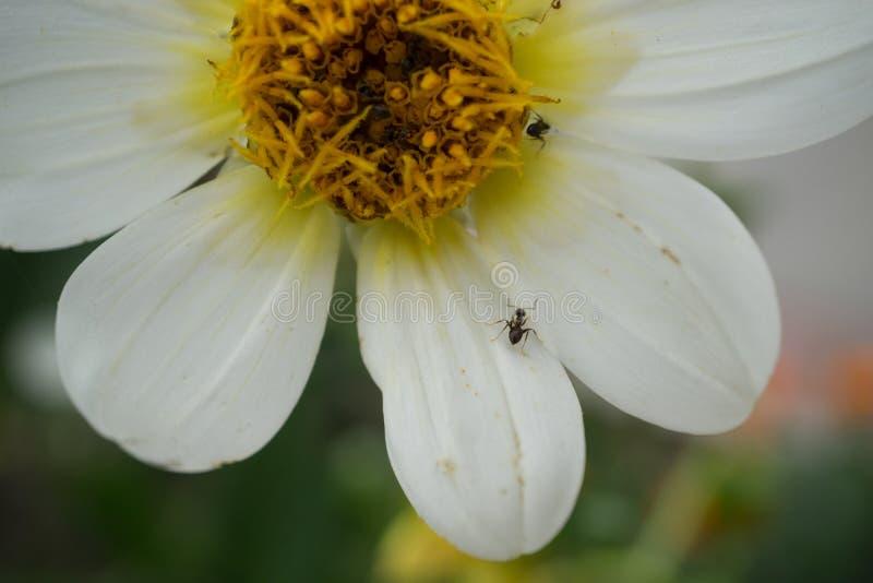 Makroskott av den vita blomman med svarta myror royaltyfria foton