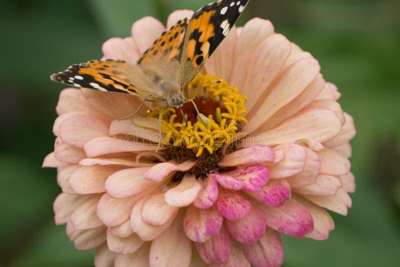 Makroskott av en härlig fjäril på en gräns - rosa färger blommar fotografering för bildbyråer
