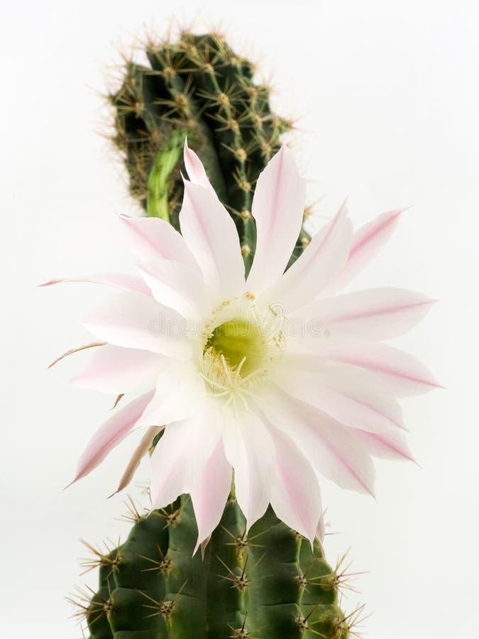 Makroskott av ett härligt ljus - rosa blommande kaktusblomma på vit royaltyfria bilder