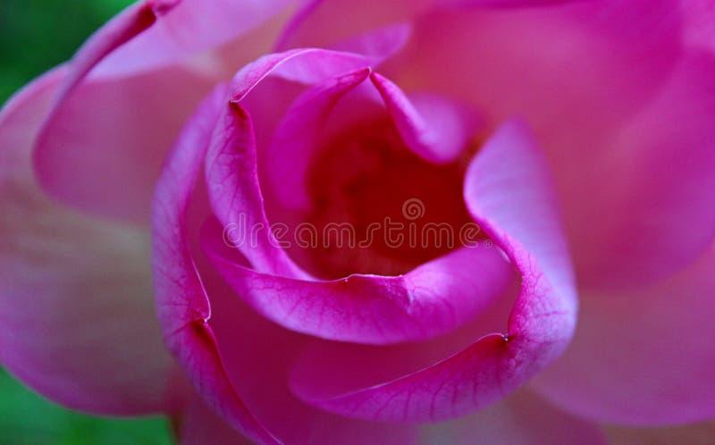 Makroskott på den rosa lotusblommablomman Fokuserat i gult pollen mjuk fokus på kronblad för bakgrund royaltyfri fotografi