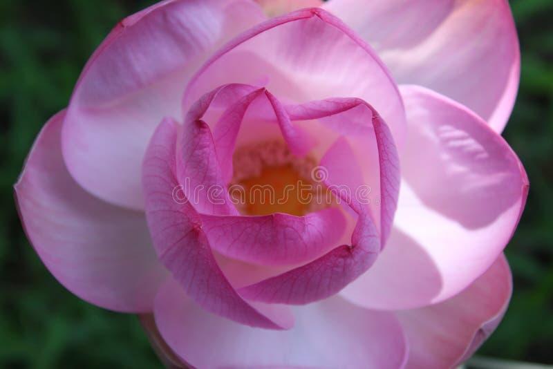 Makroskott på den rosa lotusblommablomman slapp fokus fotografering för bildbyråer