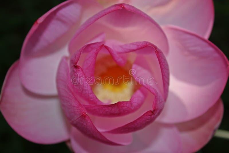 Makroskott på den rosa lotusblommablomman slapp fokus royaltyfri bild