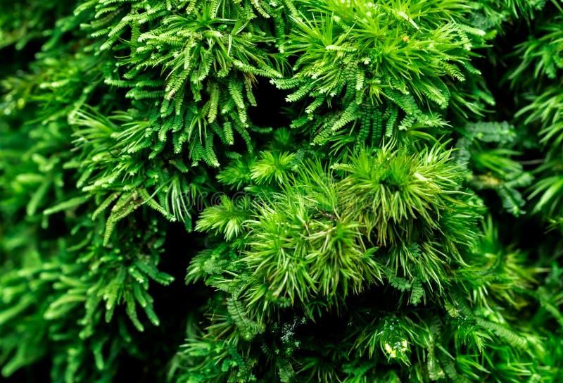 Makroskottdetalj av mossaräkningen med tätt på dött träd Grön miljö arkivbild