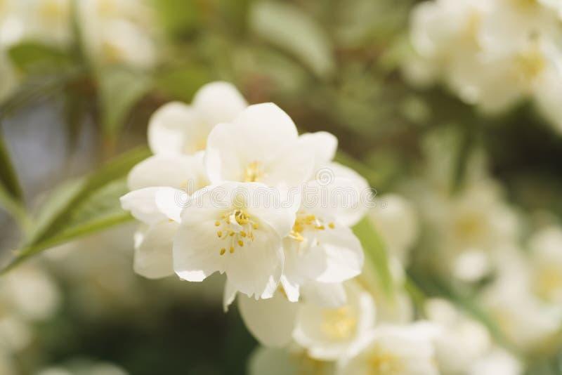 Makroskottet av jasmin blommar att blomstra i solig sommardag royaltyfri fotografi