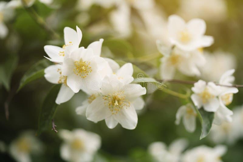 Makroskottet av jasmin blommar att blomstra i solig sommardag fotografering för bildbyråer