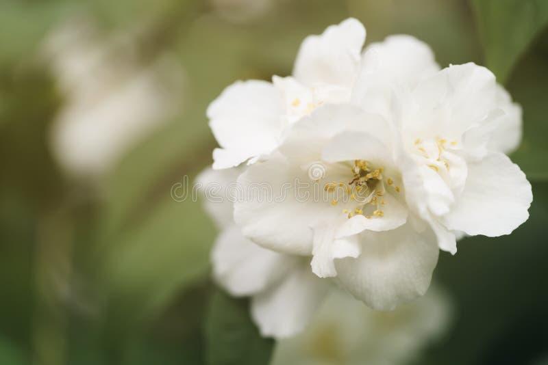 Makroskottet av jasmin blommar att blomstra i solig sommardag royaltyfri bild