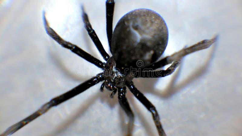 Makroslut för svart änka upp kusliga spindlar arkivbild