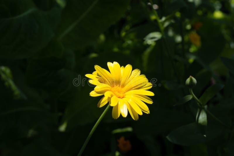 Makrosommer des gelben Calendula in einem Garten lizenzfreies stockfoto