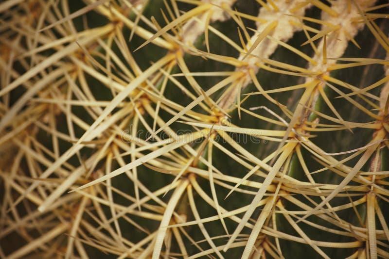 Makrostückchen Echinocactus-grusonii Hildm (goldenes Fass-Kaktus, goldener Ball, das Kissen der Mather-in-Gesetze) lizenzfreie stockfotos