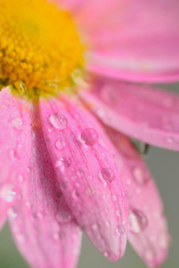 Makrotextur av den rosa färger färgade tusenskönan blommar med vattensmå droppar royaltyfria foton