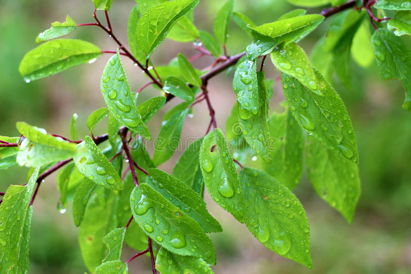 Makroträdfilial med regndroppar, dagg på sidanärbildphotogr royaltyfri fotografi