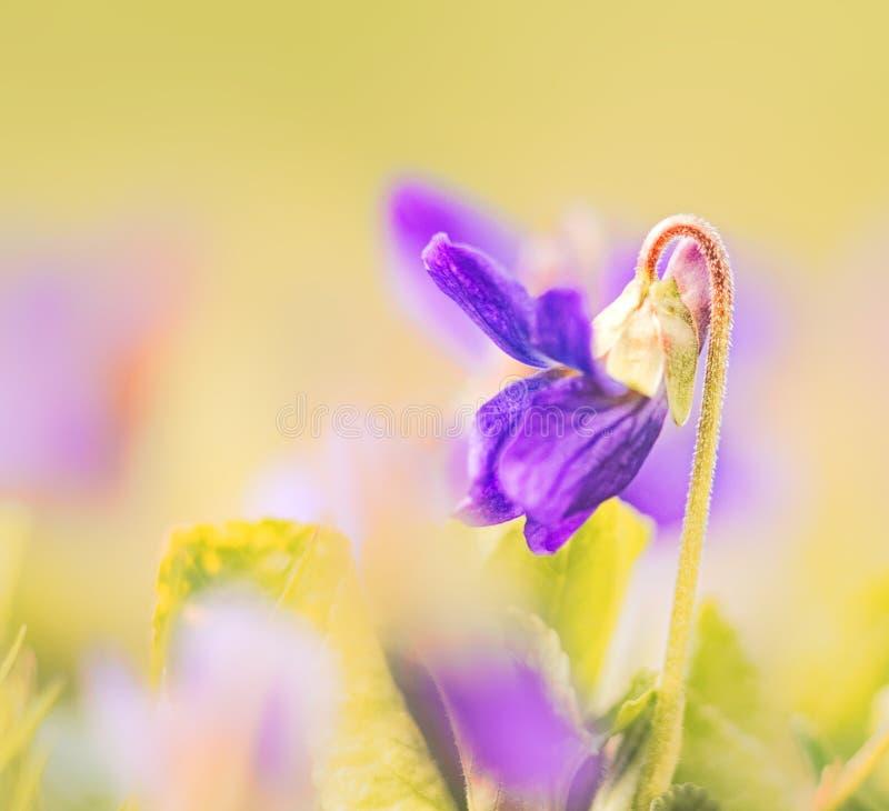 Makroveilchen, Frühlingsfarben stockfotografie