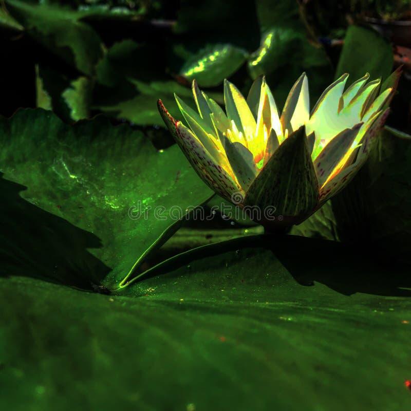Makt av lotusblomma royaltyfria foton