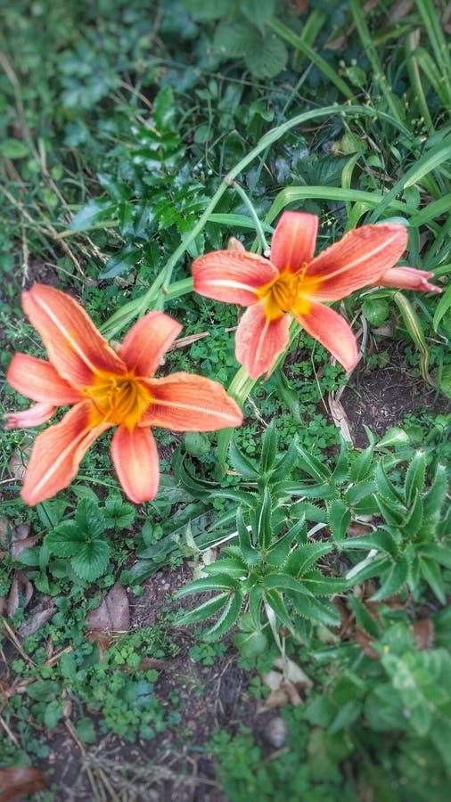 Makten av liljablommor royaltyfria foton