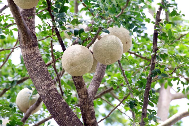 Herb Makwid, wood-apple on tree of Edible Thai fruit of subcontinent asia royalty free stock images