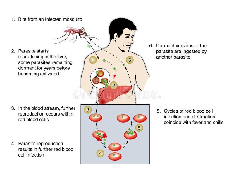 Malária ilustração stock