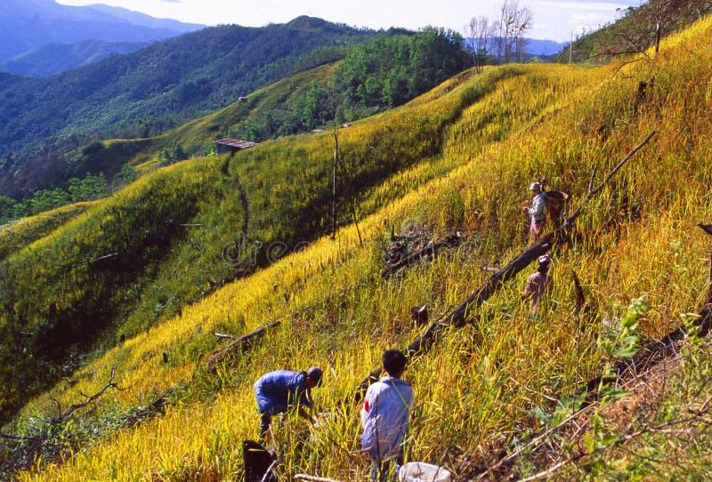 Malásia: fazendeiro que colhe colheitas na montagem Kota Kinabalu em Sabah fotos de stock royalty free