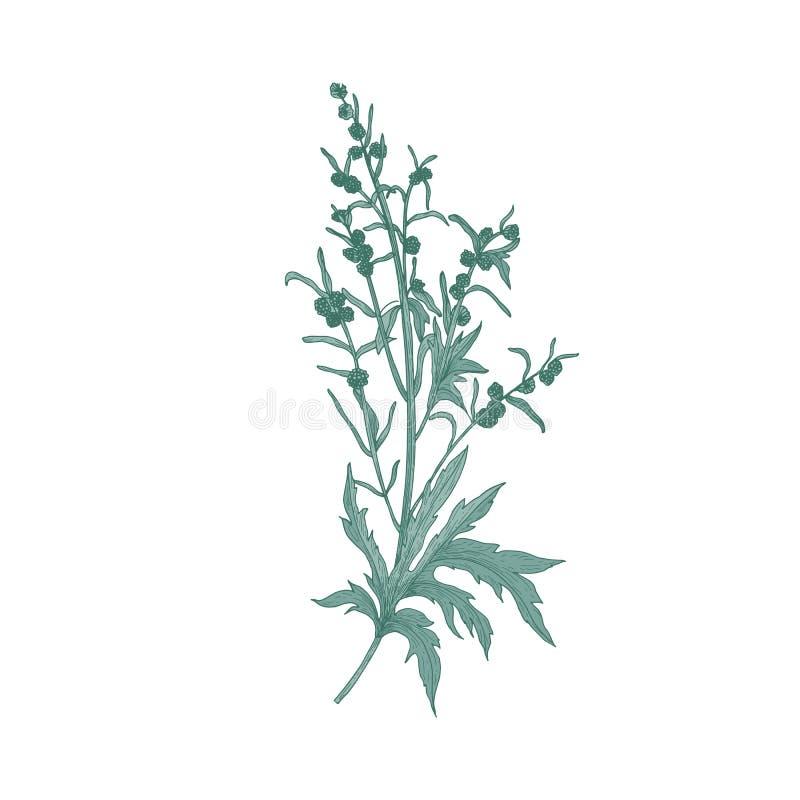 Malörtblomma som isoleras på vit bakgrund Detaljerad naturlig teckning av den blommande växten eller blomningörten som in används royaltyfri illustrationer