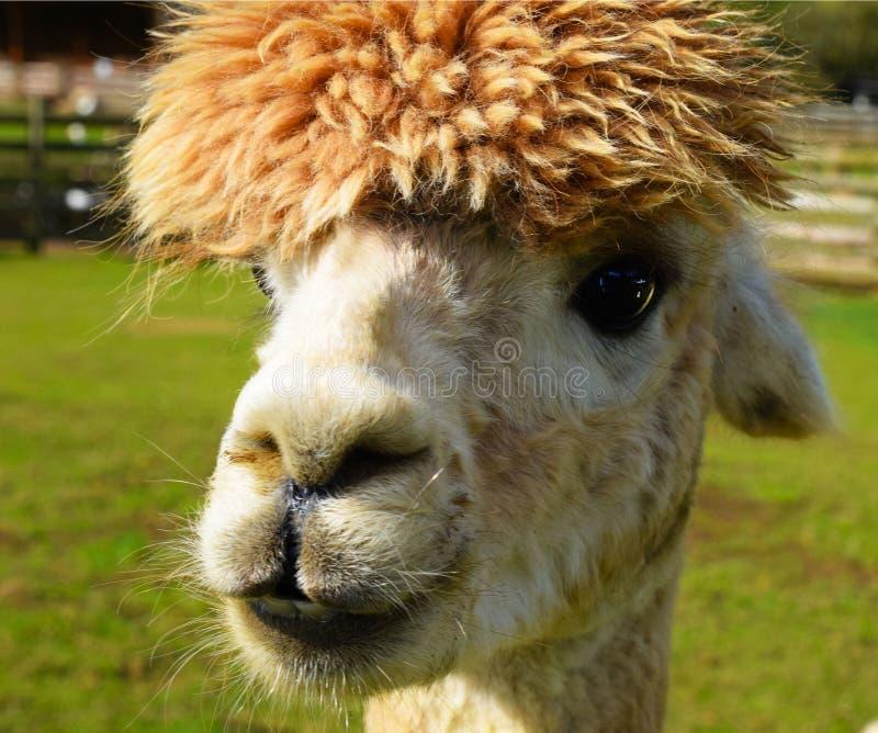 Mala alpaca del día del pelo fotos de archivo libres de regalías