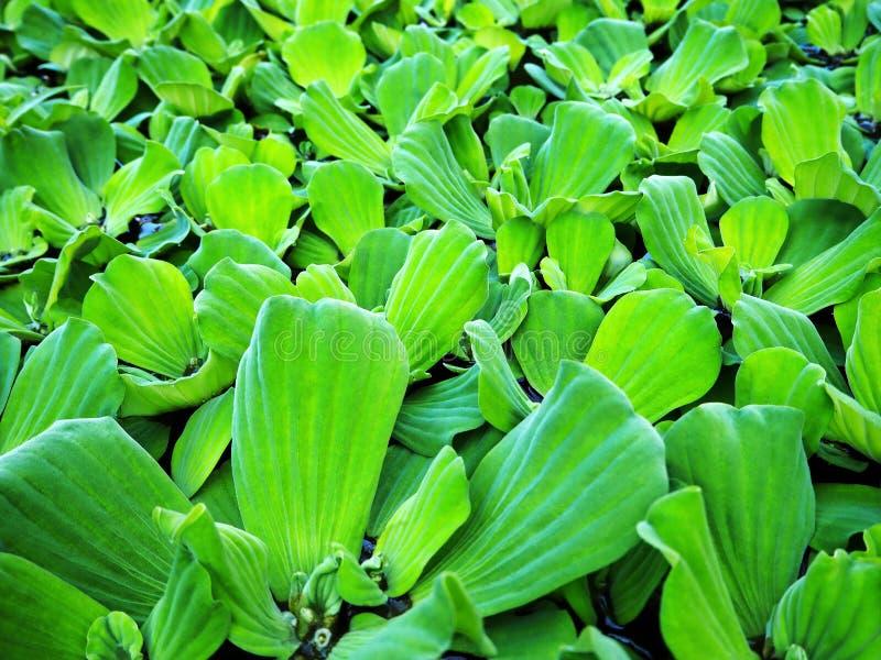 Mala hierba acuática - planta acuática verde imagen de archivo