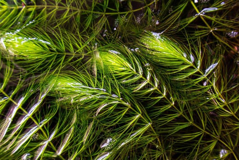 Mala hierba de Coontail en agua fotografía de archivo libre de regalías