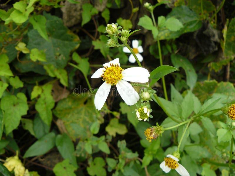 Mala hierba de la aguja española del pequeño fower blanco fotos de archivo libres de regalías