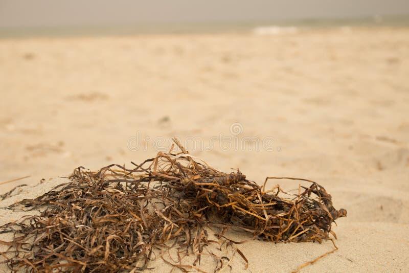 Mala hierba de la playa (2) imagenes de archivo
