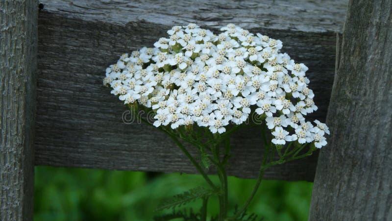 mala hierba de las persianas del monedero del pastor fotos de archivo