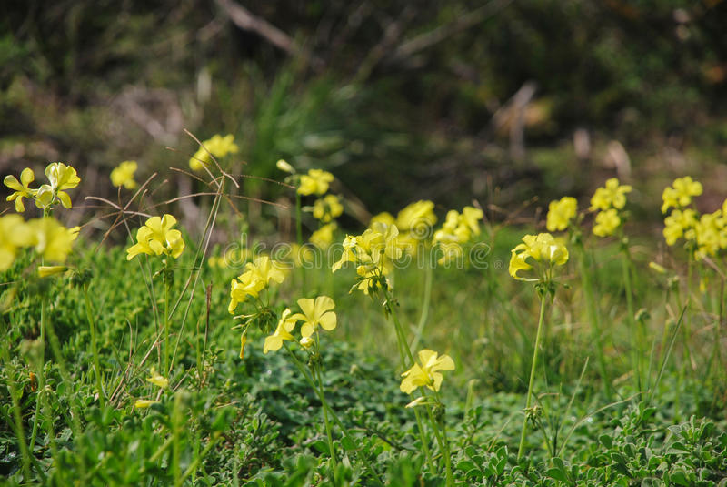 Mala hierba de Oxalis, asesino del césped, flores amarillas foto de archivo libre de regalías